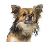 Chihuahua (2 years old) Stock Photos