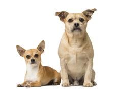 Chihuahua and Cross breed - stock photo
