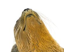 Close-up on the head of a Common seal pup, isolated on white - stock photo