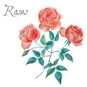 Watercolor background of english roses. - stock illustration