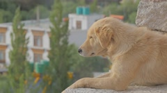 Dog watches down from palace,Leh,Ladakh,India Stock Footage