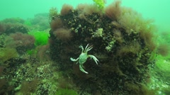 Stock Video Footage of crab is attached to the bark of red algae and mussels in slow motion