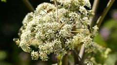 Wild angelica, Angelica sylvestris, medicinal plant Stock Footage