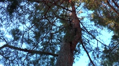 Two pine trunks intertwined Stock Footage