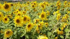 sunflower field in the wind - stock footage