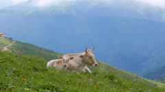 Cow and calf. Ridge Aibga. Sochi, Russia. 4K Stock Footage