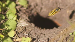 Mink in the earth, wild bees Stock Footage