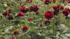 Flowering shrubs of the red delicious smelling roses Stock Footage