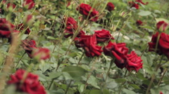 A lot of flowering shrubs of the red roses Stock Footage