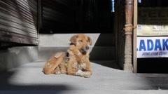 Moulting dog in himalaya bazaar,Leh,Ladakh,India Stock Footage
