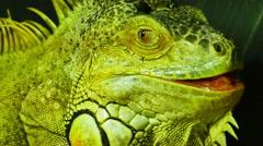 Large Iguana Close Up, 4K Stock Footage