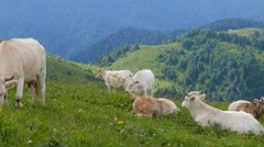 A herd of cows in the mountains. Ridge Aibga. Sochi, Russia. 1280x720 Stock Footage
