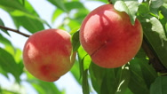 Stock Video Footage of Ripe organic Peach hanging on a branch in orchard.