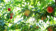 Stock Video Footage of The sun shines through the branches of peach tree.