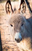 little donkey headstrong - stock photo