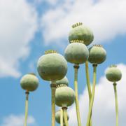 Opium Poppy (Papaver Somniferum) Capsules Close-up over beautiful cloudy sky, se Stock Photos