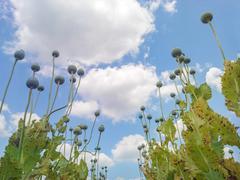 Opium poppy (Papaver somniferum) seed heads shot from below against  beautiful c Stock Photos