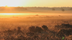 Scottish highland bulls in the morning at a golden sunrise in the fog Stock Footage