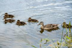 Mother-duck and ducklings Stock Photos