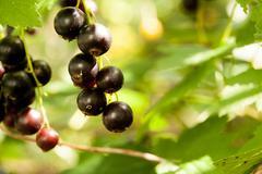 blackcurrant in the garden - stock photo