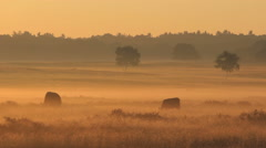 Scottish highland bulls in the morning at a golden sunrise in the fog - stock footage