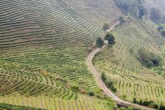Green tea plantation landscape Stock Photos