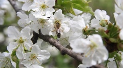 Bees gather pollen from white flowers of cherry - 9795 Stock Footage