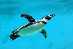 Humboldt penguin under water - stock photo