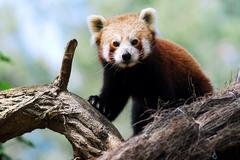 Red panda on branch Stock Photos