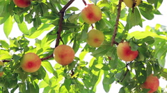 Ripe organic Peach hanging on a branch in orchard. Stock Footage