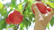 Stock Video Footage of A farmer harvests peaches.