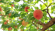 Stock Video Footage of Harvest of peaches.