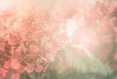 Red Flamboyant flower background Stock Photos