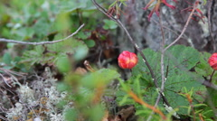 Cloudberry bushes with berries are on the marshes in North Karelia Stock Footage