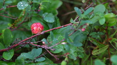Red cloudberry berries growing on the marshes in North Karelia Stock Footage