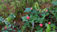 Red cloudberry berries with water drops is on the marshes in North Karelia Stock Footage