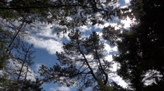 Pine Forest - Windy Trees - Blue Sky & White Clouds Stock Footage