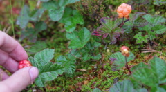 Gathering fresh cloudberries at forest swamp Stock Footage