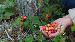 Woman picking red cloudberries on the northern marshes, hands close-up Stock Footage