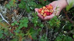 Women hands full of cloudberries near the growing berries, bog of Karelia, Rus Stock Footage