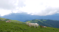 Cows graze in the mountains. Ridge Aibga. Sochi, Russia. 4K Stock Footage