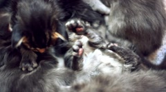 Maine Coon kittens play together Stock Footage