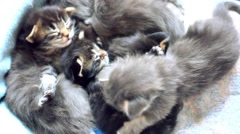 Maine Coon kittens play together - stock footage