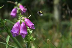 Bumblebee approaching wild purple flower in scandinavian forest Stock Photos