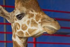 Stock Photo of Giraffe Close Up