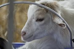 Baby Goat Kid - stock photo