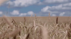 Close-up of wheat ears moving in the wind in the field Stock Footage