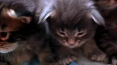 Maine Coon kittens sitting in a line together - stock footage