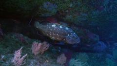 Under water shot of Dusky Grouper in Mediterranean Sea Stock Footage