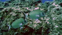 Underwater shot of fish over rocky reef, tracking shot Stock Footage